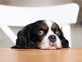 Perro con cara de tristeza - Alimentos que pueden intoxicar a las mascotas