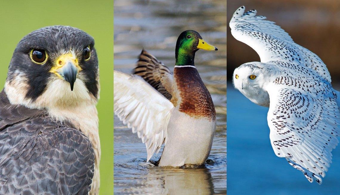 composite image of a peregrine falcon, a mallard, and a snowy owl