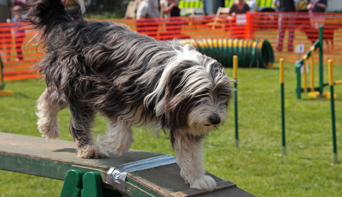 item 6 of Gallery image - Bearded Collie
