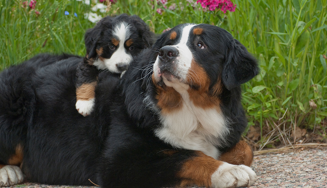 item 13 of Gallery image - Two Bernese Mountain Dogs pictured