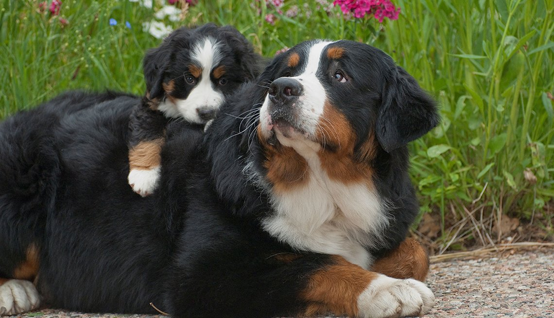 Two Bernese Mountain Dogs pictured