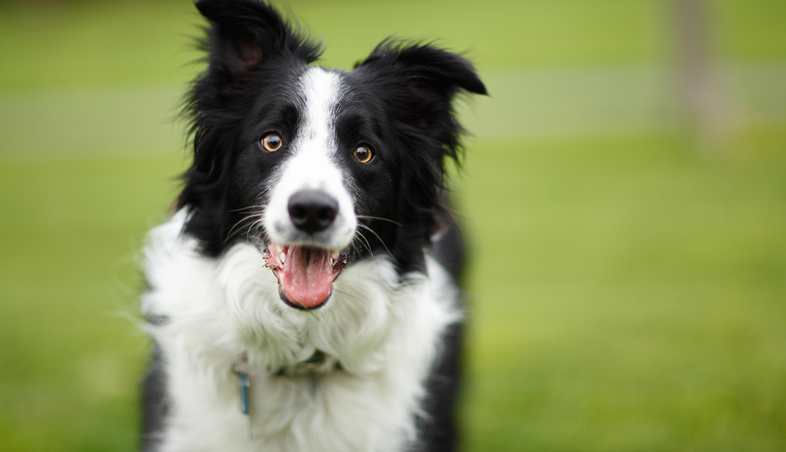 item 3 of Gallery image - Border Collie