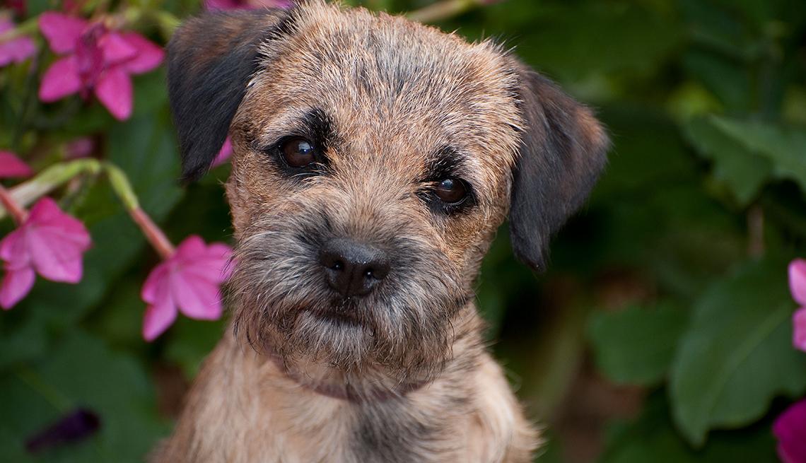 item 5 of Gallery image - Border Terrier