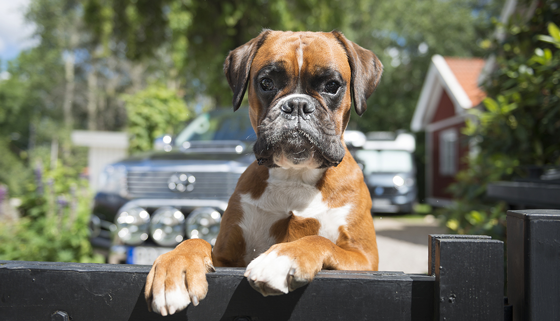 item 11 of Gallery image - Close up shot of Boxer dog