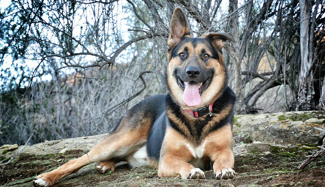 item 9 of Gallery image - German Shepherd