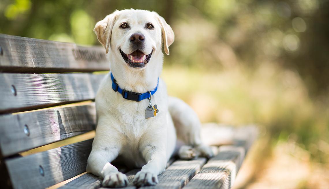 item 1 of Gallery image - Labrador Retriever dog