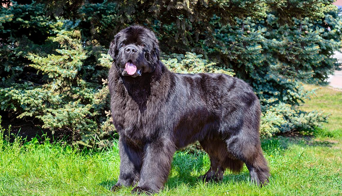 item 10 of Gallery image -  Newfoundland dog