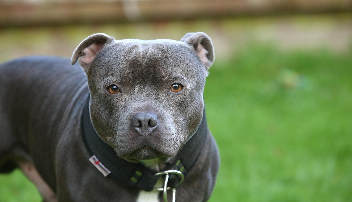 item 15, Gallery image. Staffordshire Bull Terrier close up shot
