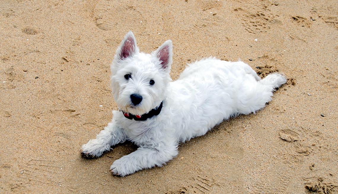 item 7 of Gallery image - Westie puppy