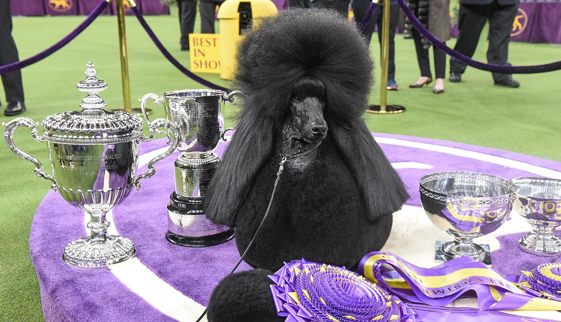A black poodle sitting on a purple table with silver trophies and ribbons