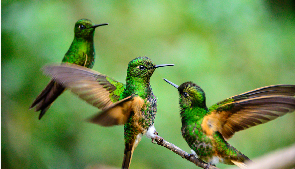 Humming birds in the Cocora Valley near Salento in Colombia