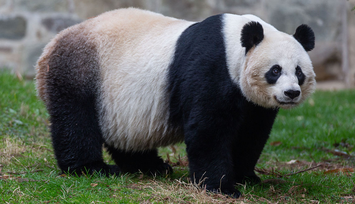1140-panda-smithsonian.jpg