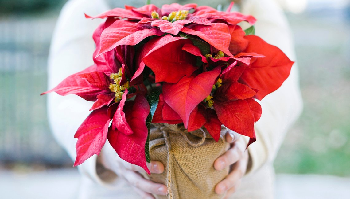Woman holding poinsettia flowers