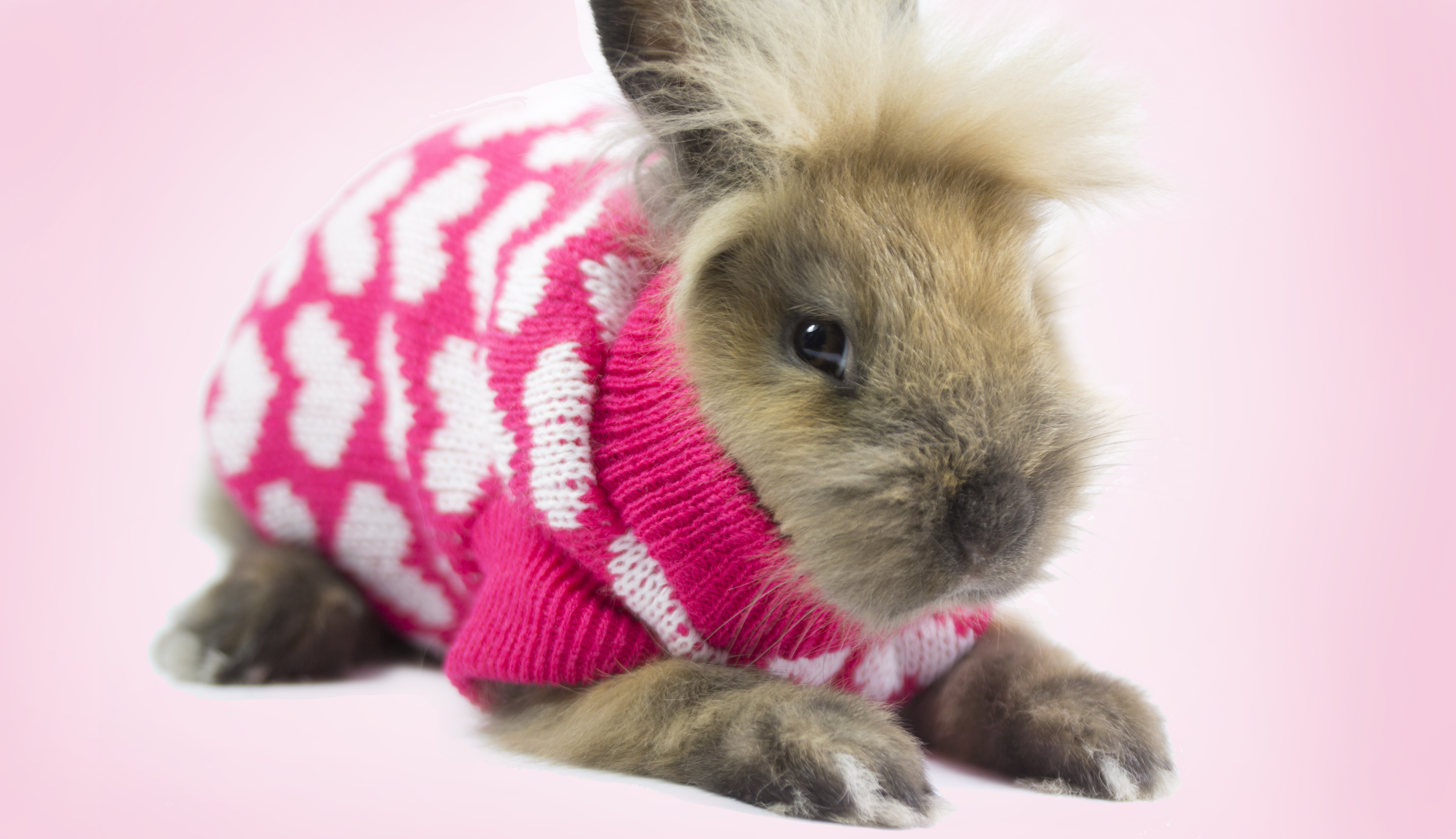 a pet rabbit wearing a sweater with hearts on it