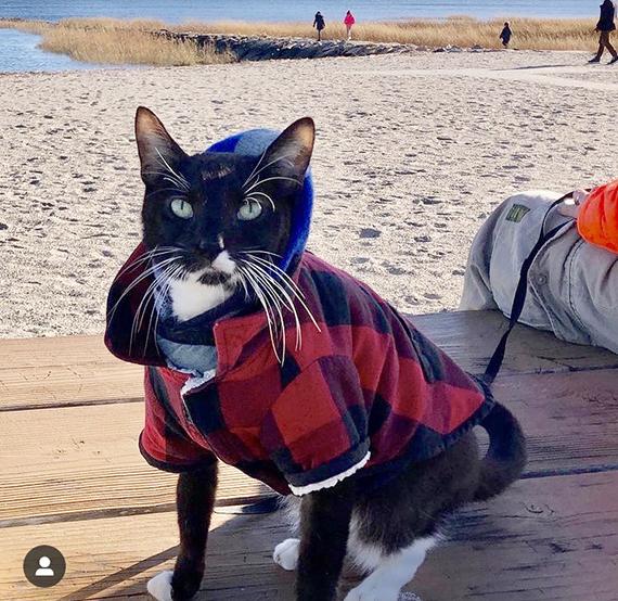El gato Sushi con correa en la playa