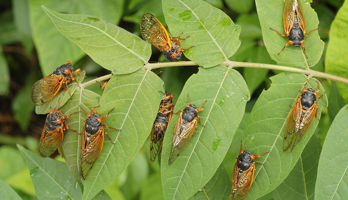 Periodical cicadas  on leaves