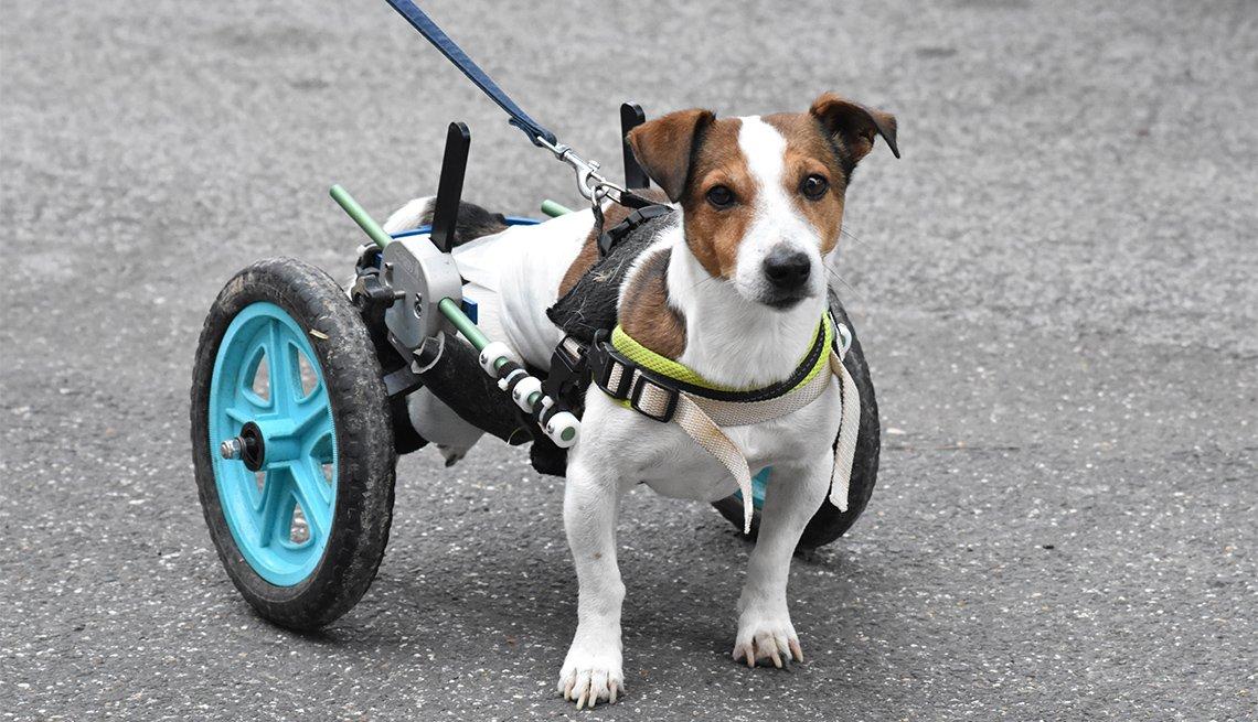 Perro camina con la ayuda de dos ruedas de apoyo