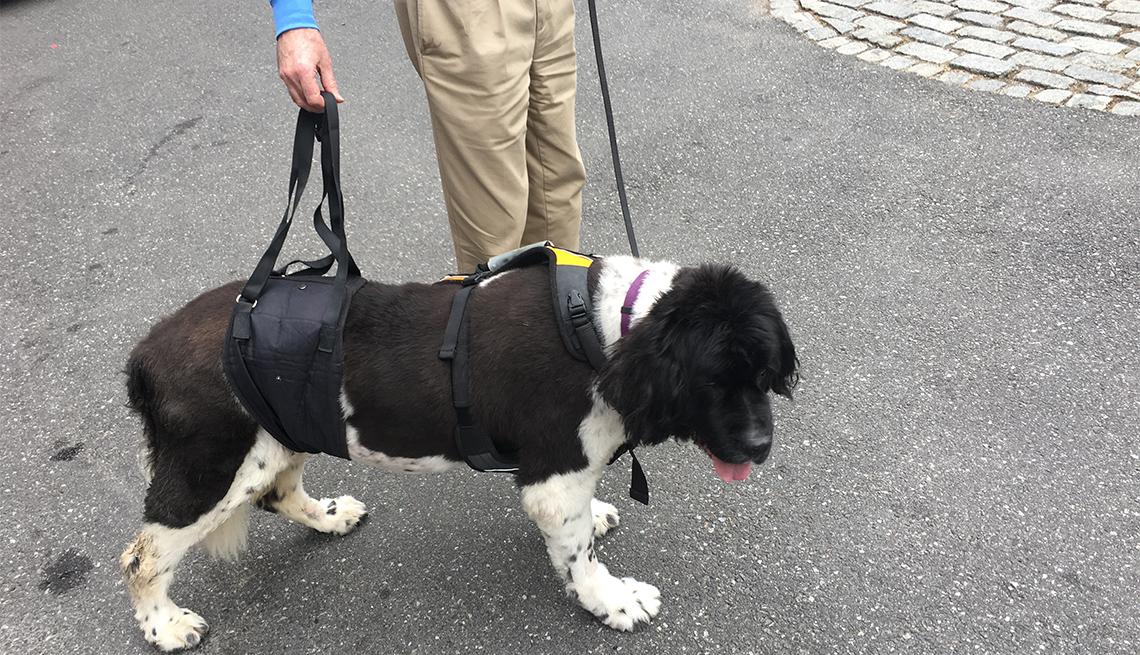 Jeffery Runge ayuda a su perro a caminar con un arnés