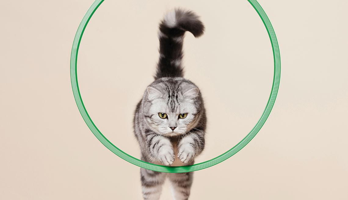 a house cat jumping through a small hoop