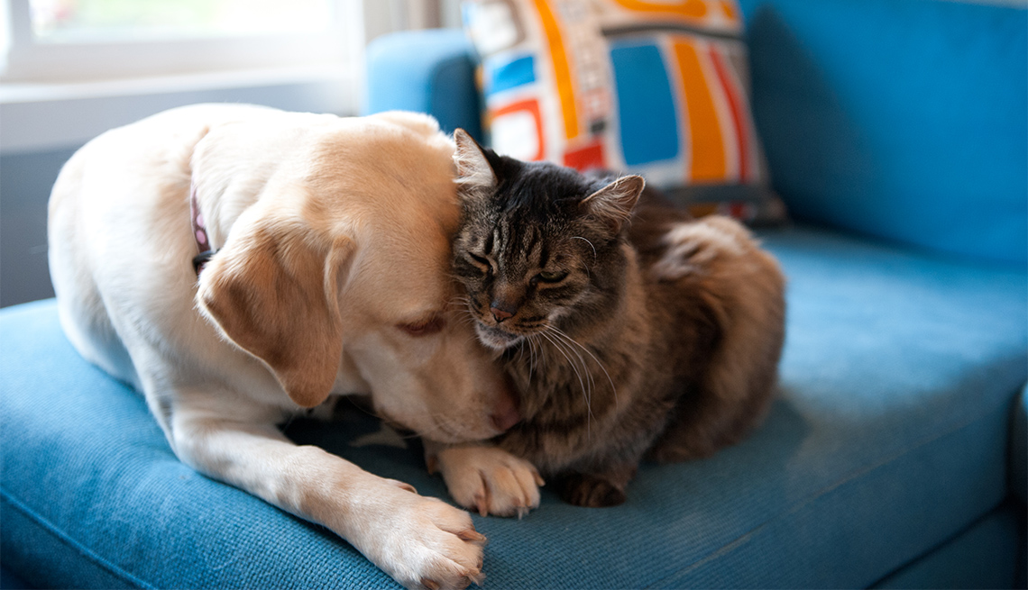 Yellow Labrador retriever and Maine coon cat cuddling together on a blue couch