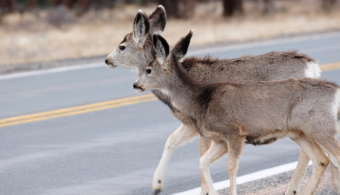 Deers crossing the road, Driving Resource Center