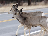Deers crossing the road (Istockphoto)