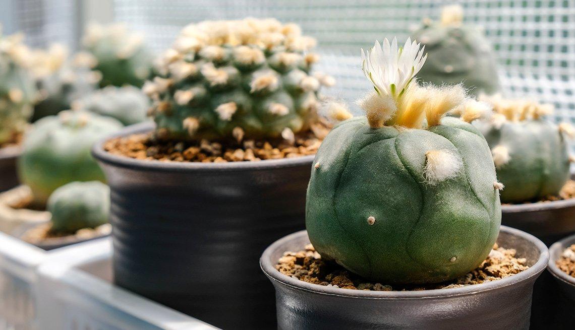 Cactus florecientes en diferentes macetas agrupadas