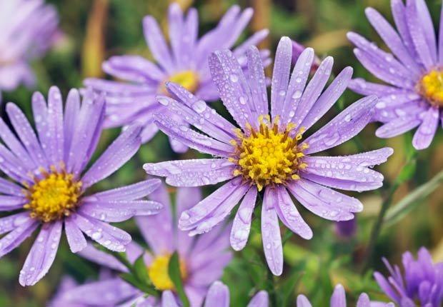 Áster, Otoño-florecientes para Jardines