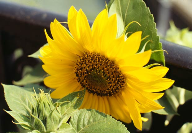 Girasoles, Otoño-florecientes para Jardines