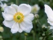 Anémona japonesa, Otoño-florecientes para Jardines
