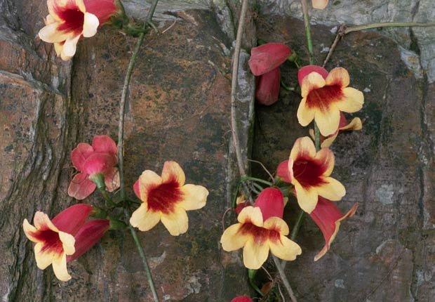 Bignonia, Otoño-florecientes para Jardines