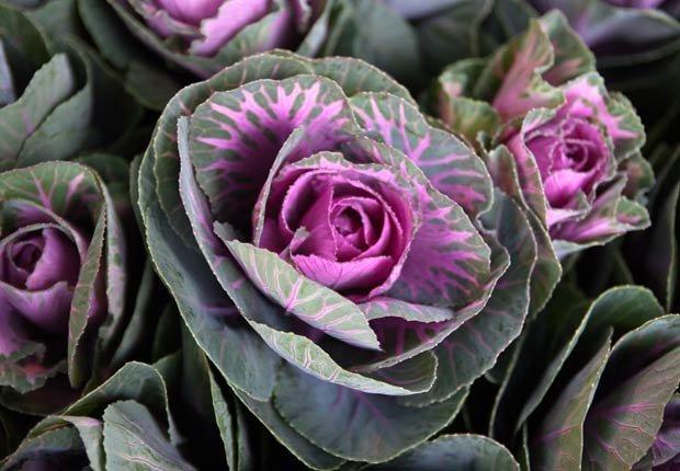 Col ornamental , Otoño-florecientes para Jardines
