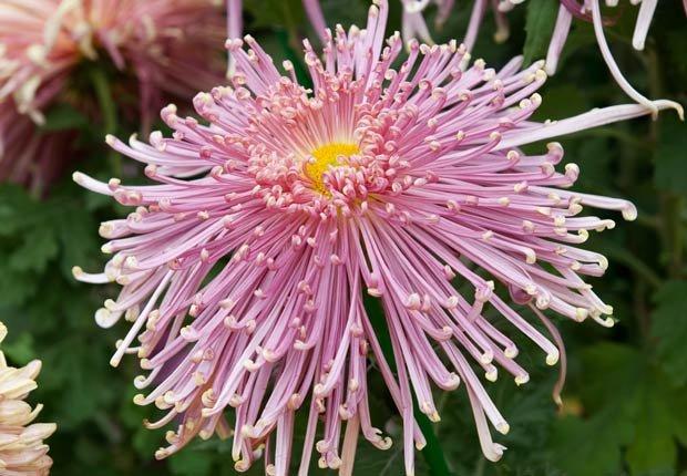 crisantemos para jardines