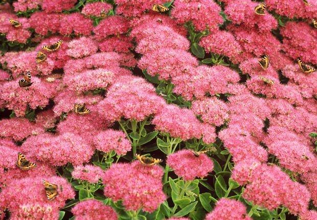 Sédum o Crasuláceas, Otoño-florecientes para Jardines