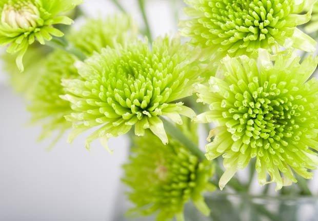 Crisantemo, 10 plantas que ayudan a limpiar el aire en su hogar