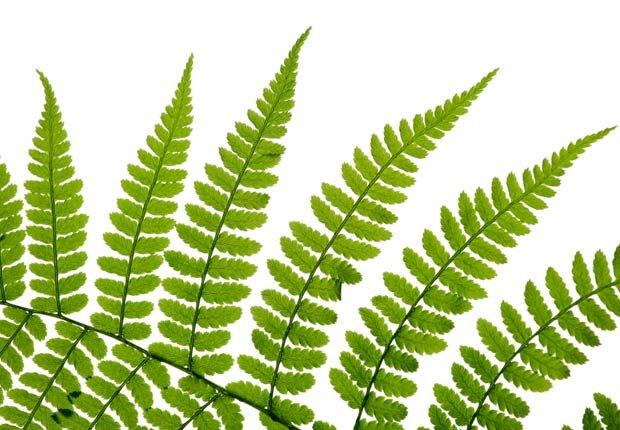 Helecho, 10 plantas que ayudan a limpiar el aire en su hogar