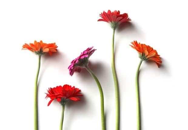 Gerber Daisy, 10 plantas que ayudan a limpiar el aire en su hogar