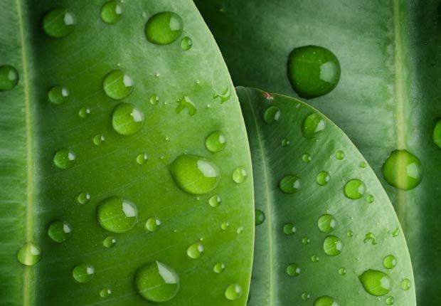 Planta de goma, 10 plantas que ayudan a limpiar el aire en su hogar