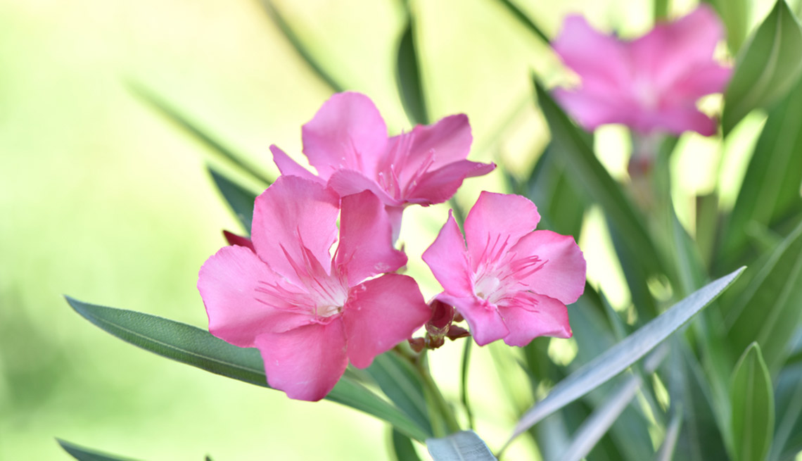 Hermosas plantas resistentes a la sequía – Adelfa