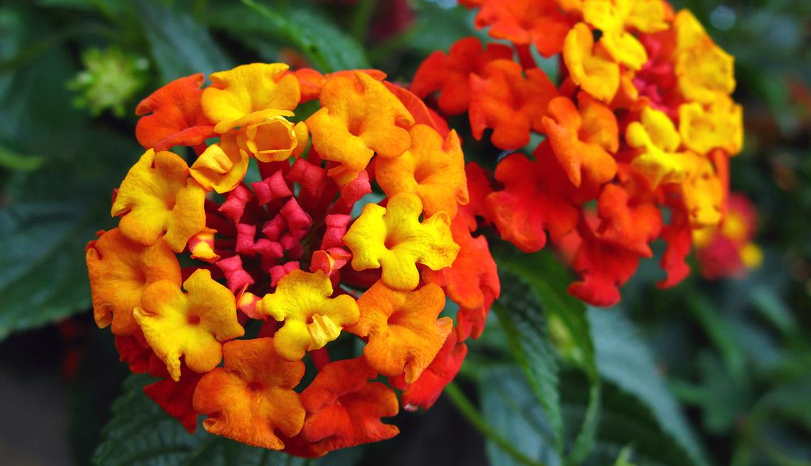 Hermosas plantas resistentes a la sequía – Lantana