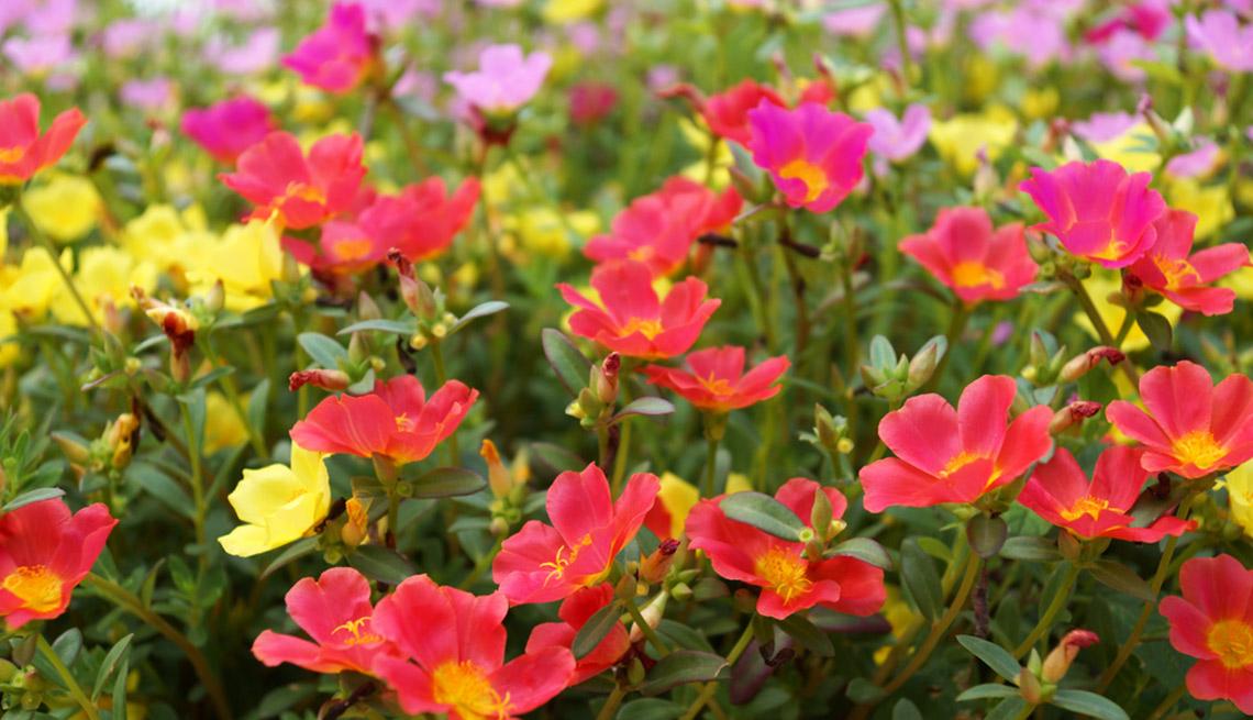 Hermosas plantas resistentes a la sequía – Portulaca