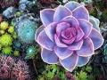 Drought-Tolerant Plants for Your Landscape: Succulent