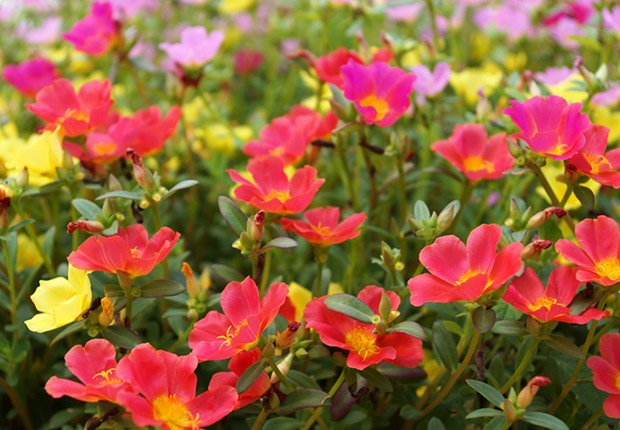 Drought-Tolerant Plants for Your Landscape: Portulaca