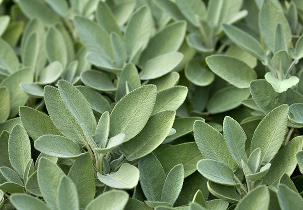 Drought-Tolerant Plants for Your Landscape:  Sage