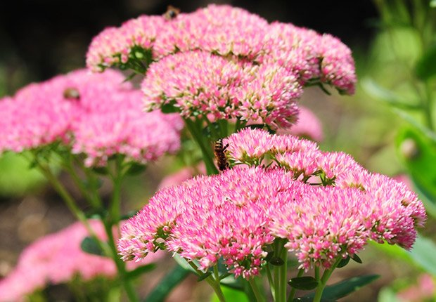Drought-Tolerant Plants for Your Landscape: Sedum