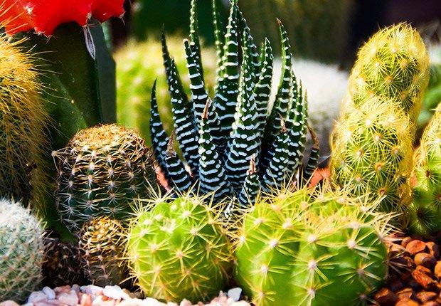 Drought-Tolerant Plants for Your Landscape:  Cactus