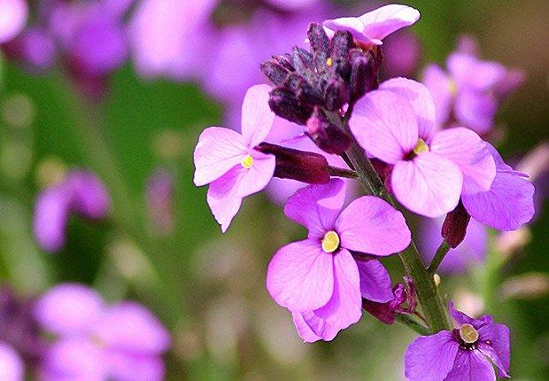 Drought-Tolerant Plants for Your Landscape:  Wallflower