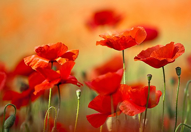 Drought-Tolerant Plants for Your Landscape:  Poppy