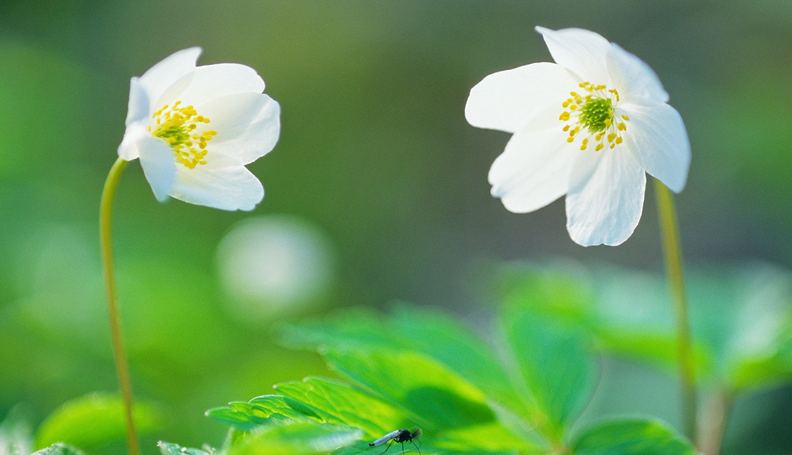 Imagen frontal de dos anémonas - Plantas para embellecer tu jardín con los colores del otoño
