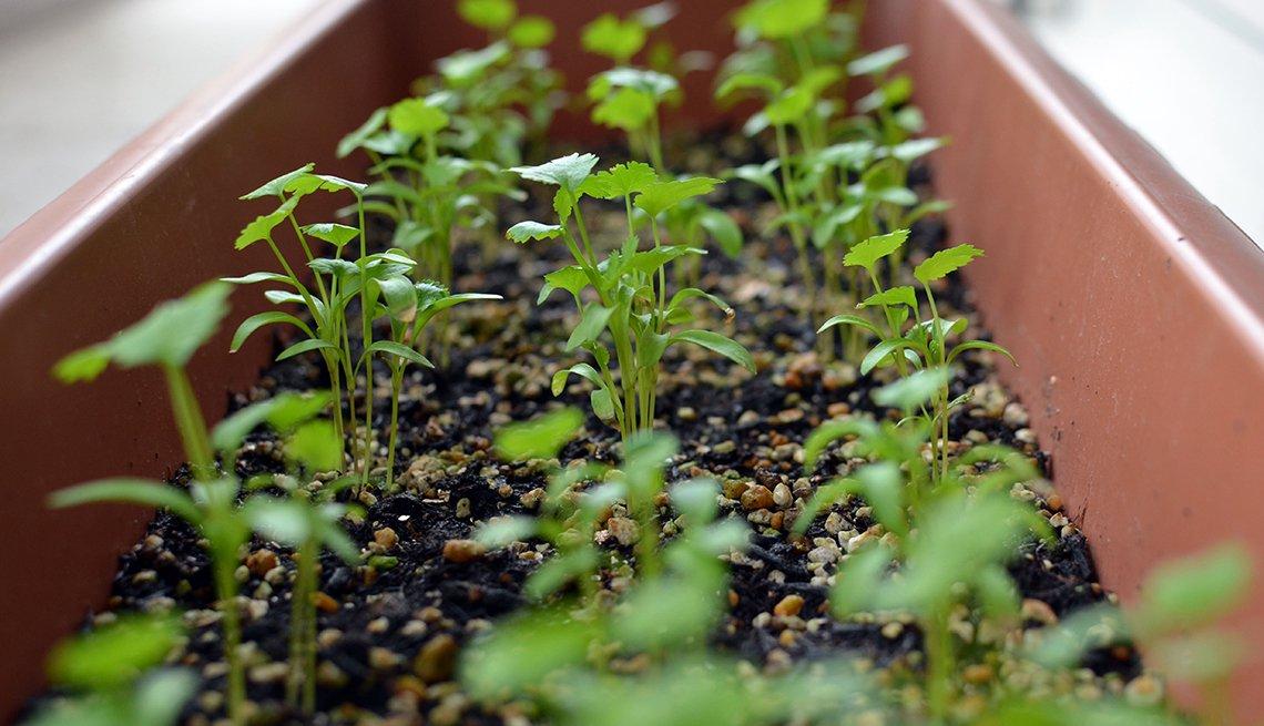 Cilantro, 10 Hierbas y verduras más fáciles de plantar en su jardín